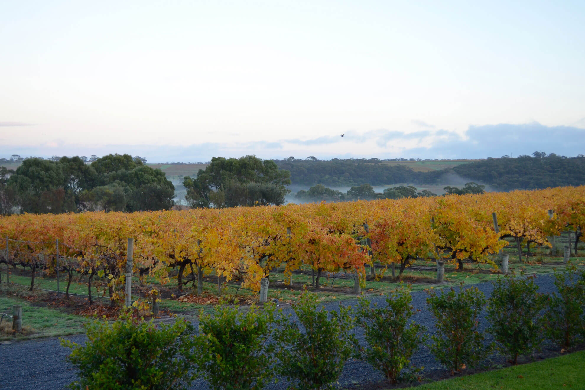 Morning mist views across the vines.